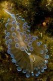 nudibranch просвечивающее Стоковое Изображение