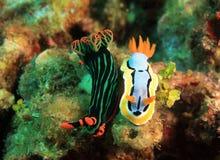 Nudibranch Stock Image