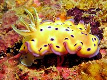 Free Nudibranch Royalty Free Stock Image - 1237486