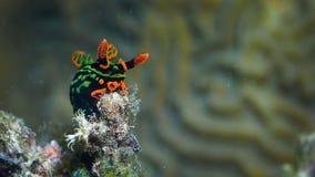 Nudibranch fotografia stock libera da diritti