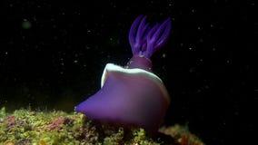 Nudibranch immagine stock libera da diritti