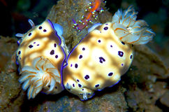nudibranch Arkivfoto