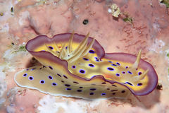 nudibranch Fotografia Stock