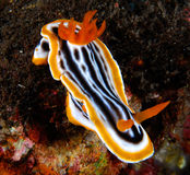 Nudibranch Stockbild