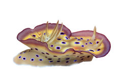 Free Nudibranch Royalty Free Stock Image - 16201196