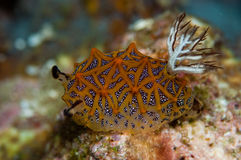 nudibranch Royaltyfri Foto