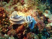 nudibranch Royaltyfri Bild