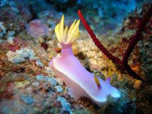nudibranch Arkivbild