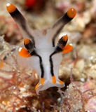 Nudibranch Royalty Free Stock Photography