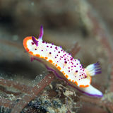 Nudibranch Photos libres de droits