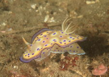 Nudibranch  Stock Image