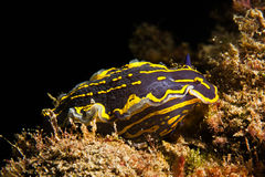Nudibranch Photographie stock