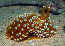 Nudibranch10 库存照片