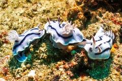Nudibranch Lizenzfreie Stockbilder