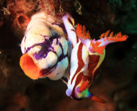 Nudibranch Stock Photography