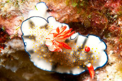 Nudibranch. A unusual Nudibranch from the Philippines Royalty Free Stock Image