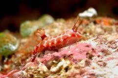 Nudibranch aceh indonesia dykapparatdykning arkivbilder