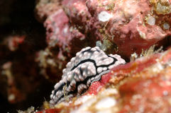 Nudibranch aceh indonesia dykapparatdykning arkivbild