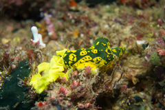 Nudibranch (Aegires minor) on a coral reef. Sea slug was laying eggs in underwater world Royalty Free Stock Photos