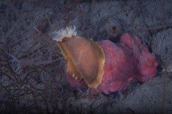 Nudibranch alimentant sur une éponge Image stock
