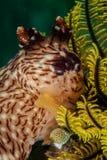 Nudibranch a Ambon, Maluku, foto subacquea dell'Indonesia immagini stock libere da diritti