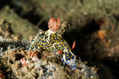 Nudibranch a Ambon, Maluku, foto subacquea dell'Indonesia fotografia stock libera da diritti