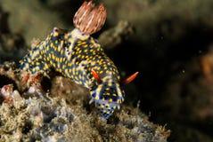 Nudibranch a Ambon, Maluku, foto subacquea dell'Indonesia fotografia stock