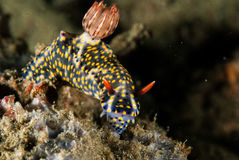 Nudibranch in Ambon, Maluku, Indonesia underwater photo Stock Photography