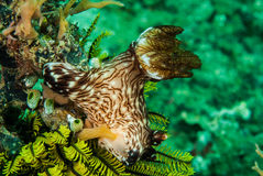 Nudibranch in Ambon, Maluku, Indonesia underwater photo Royalty Free Stock Photos