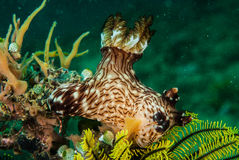 Nudibranch in Ambon, Maluku, Indonesia underwater photo Stock Image