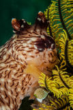 Nudibranch in Ambon, Maluku, Indonesia underwater photo Royalty Free Stock Images