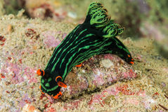 Nudibranch in Ambon, Maluku, Indonesia underwater photo Stock Images