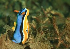 Nudibranch – annae Chromodoris Στοκ Εικόνα