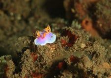 Nudibranch - apolegma Hypselodoris Στοκ Εικόνες