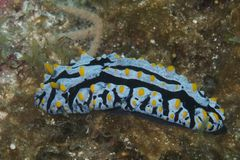 Nudibranch av den Balicasag ön, Bohol Filippinerna Arkivbilder