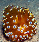 Nudibranch10. A big nudibranch searches for food in the sand Stock Photos