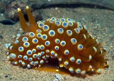 Nudibranch10 Royalty Free Stock Images