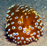 Nudibranch10. A big nudibranch searches for food in the sand Stock Photo