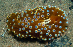 Nudibranch10. A big nudibranch searches for food in the sand Stock Photography
