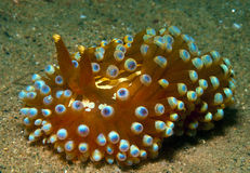 Nudibranch10. A big nudibranch searches for food in the sand Royalty Free Stock Image