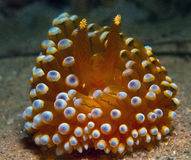 Nudibranch10 Stock Images
