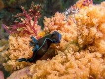 Nudibranch. Black nudibranch / sea slug underwater royalty free stock photography