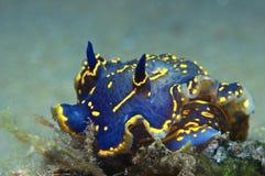 Nudibranch-Blau Lizenzfreie Stockbilder