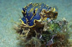 Nudibranch-Blau Lizenzfreies Stockbild