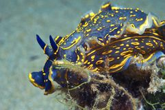 Nudibranch-Blau Lizenzfreie Stockfotografie