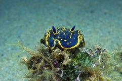 Nudibranch-Blau Stockfotos