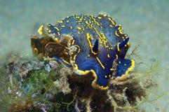 Nudibranch-Blau Stockbilder