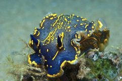 Nudibranch-Blau Stockfoto
