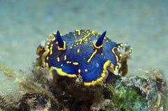 Nudibranch-Blau Lizenzfreie Stockfotos
