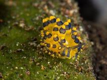 Nudibranch bleu/de jaune costasiella de moutons Images stock